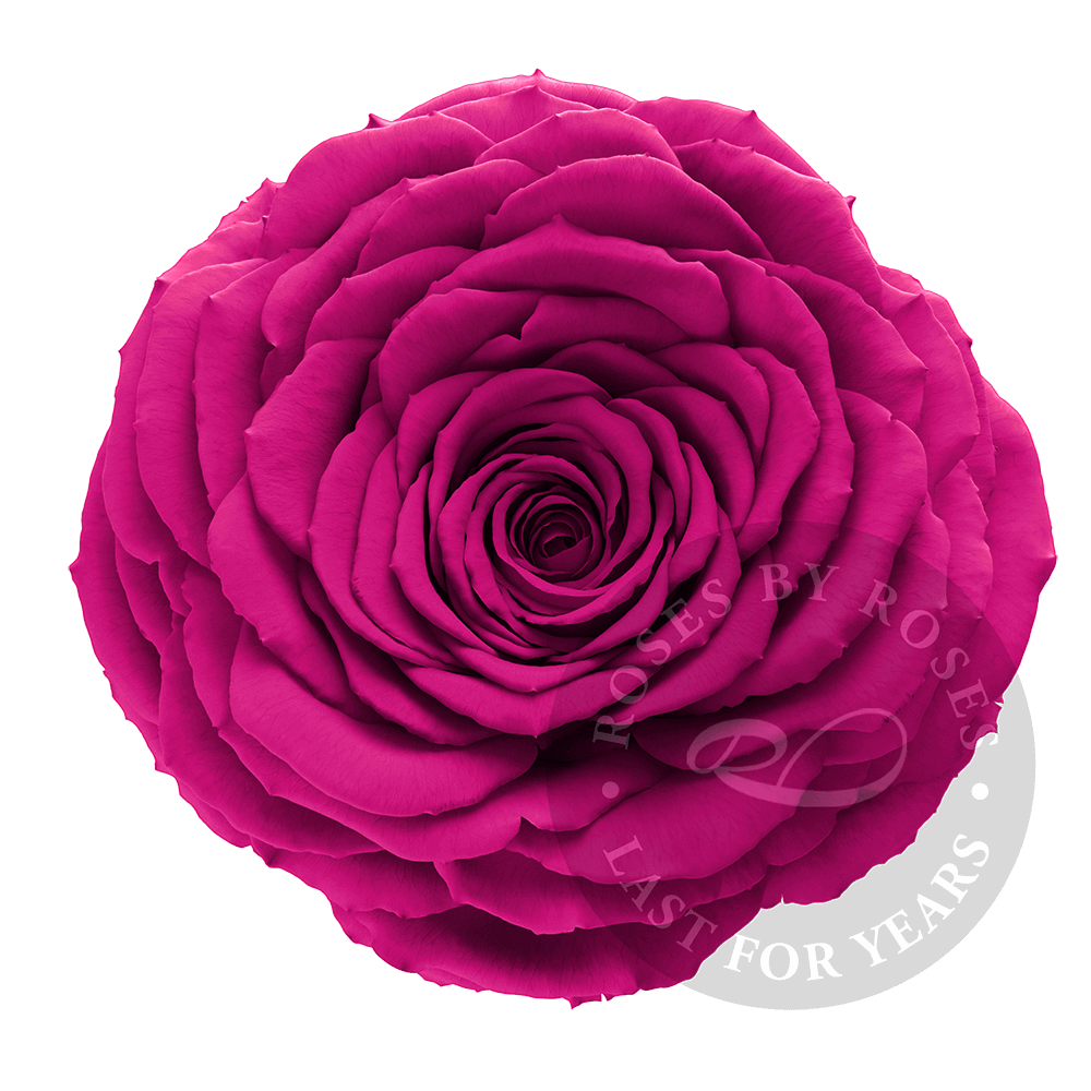 Preserved Fuchsia Rose, Premium long-lasting XL fuchsia roses