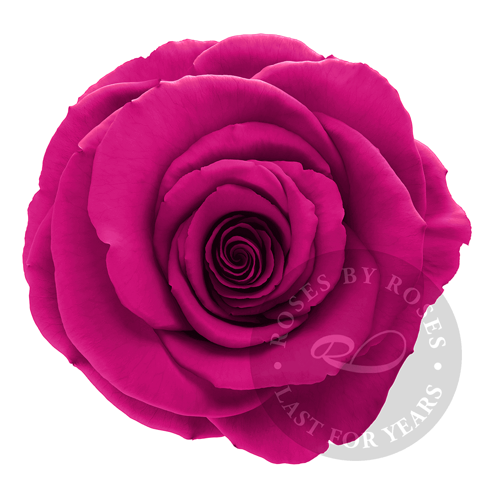 Fuchsia Rose preserved, long-lasting exclusive roses