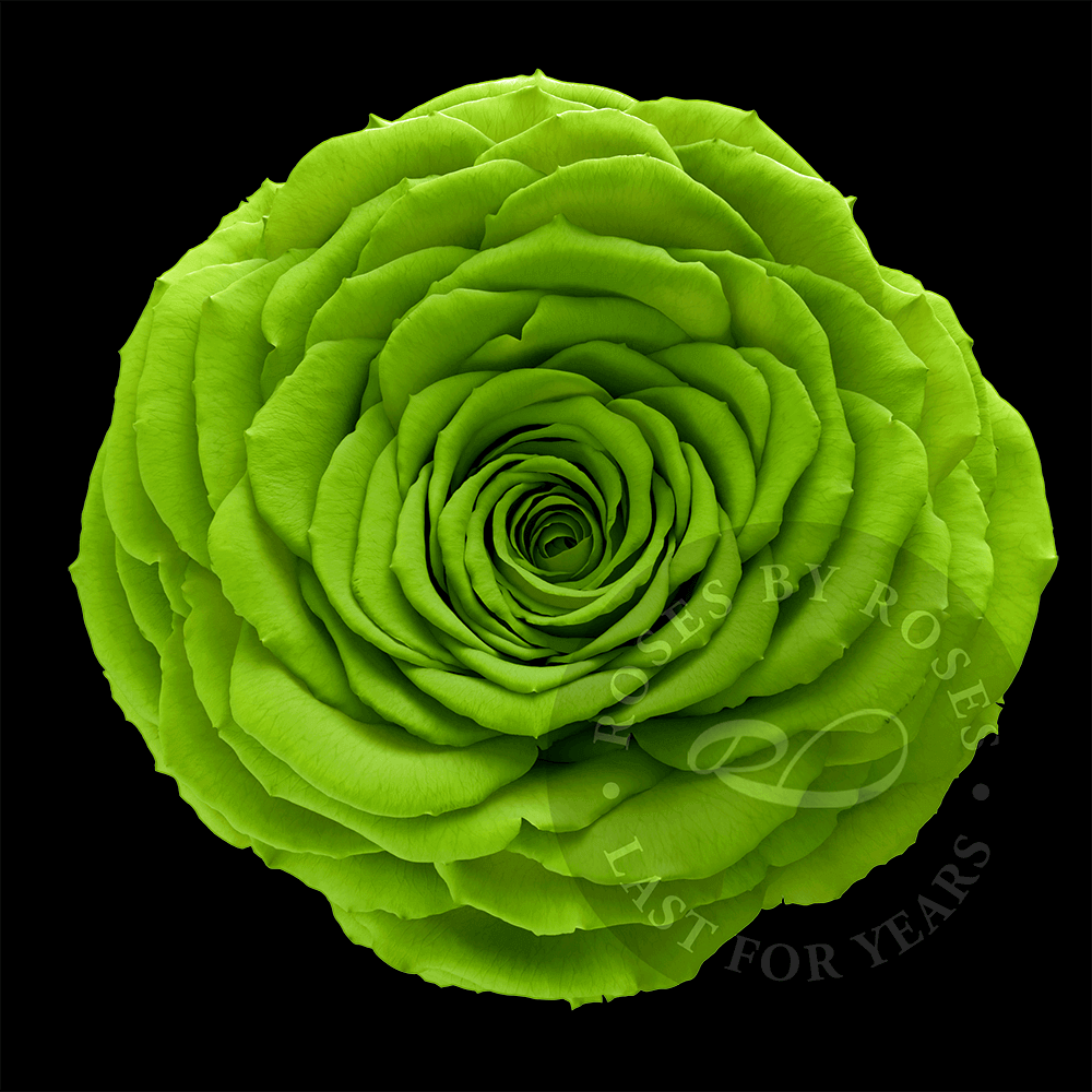 Green-rose-preserved-big-rosesbyroses-bl