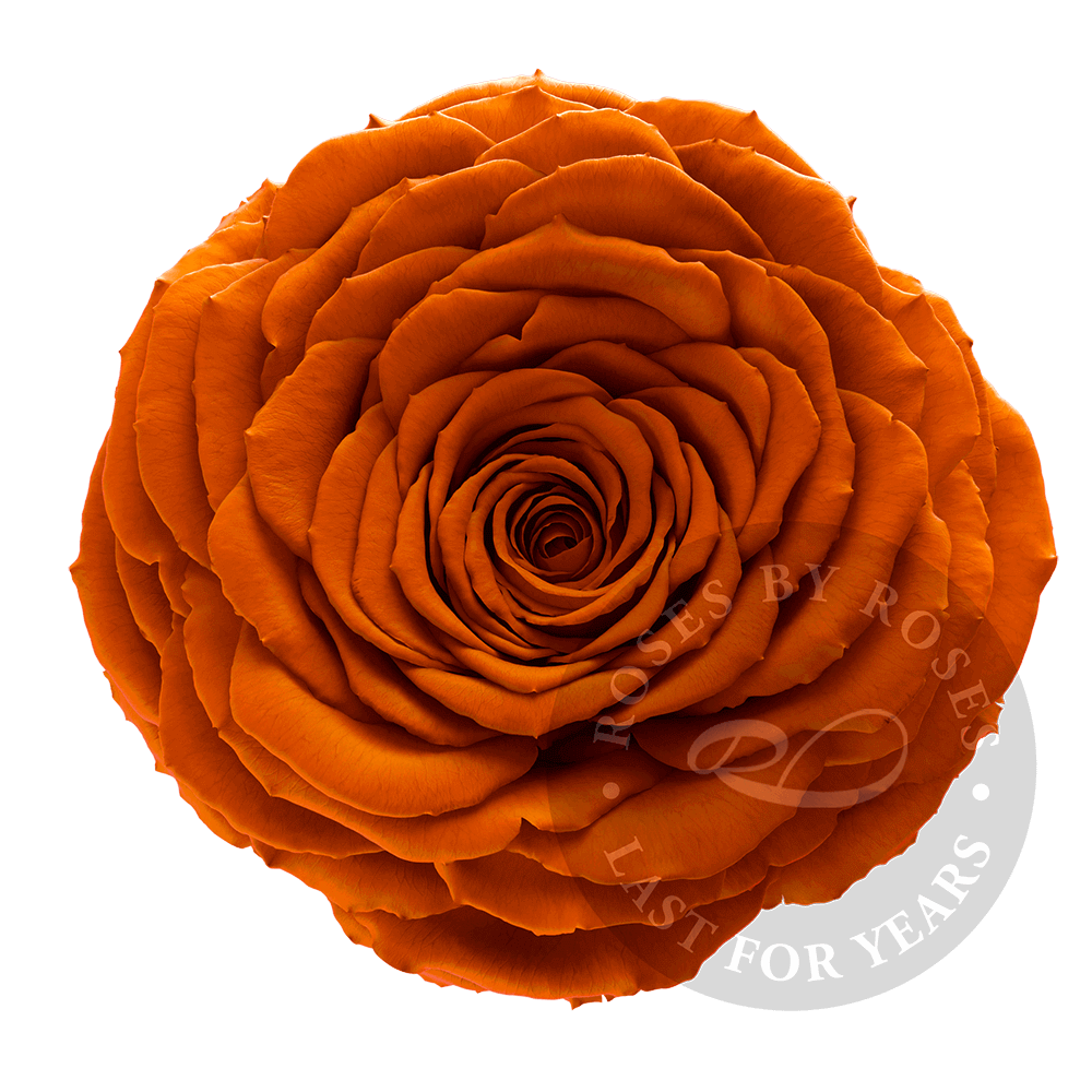 Preserved Orange Rose, Premium long-lasting XL orange roses
