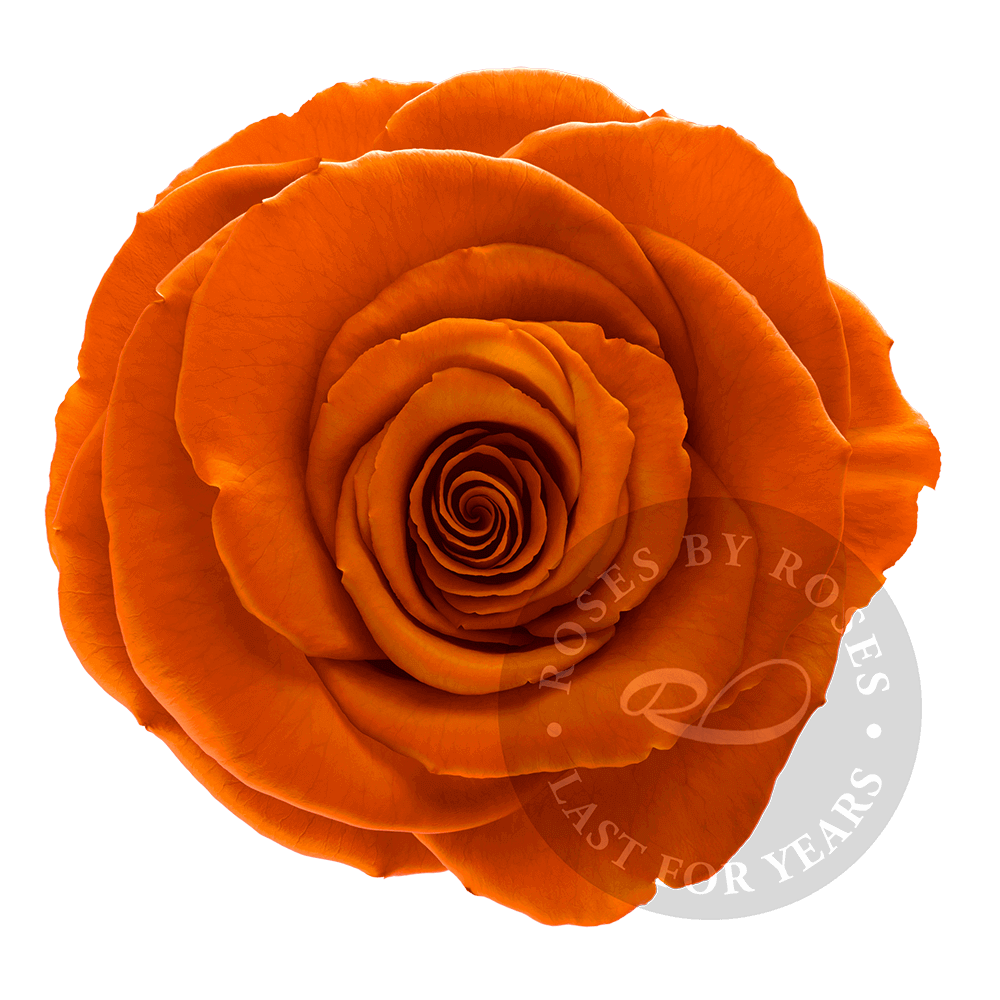 Orange Rose preserved, exclusive long-lasting orange roses