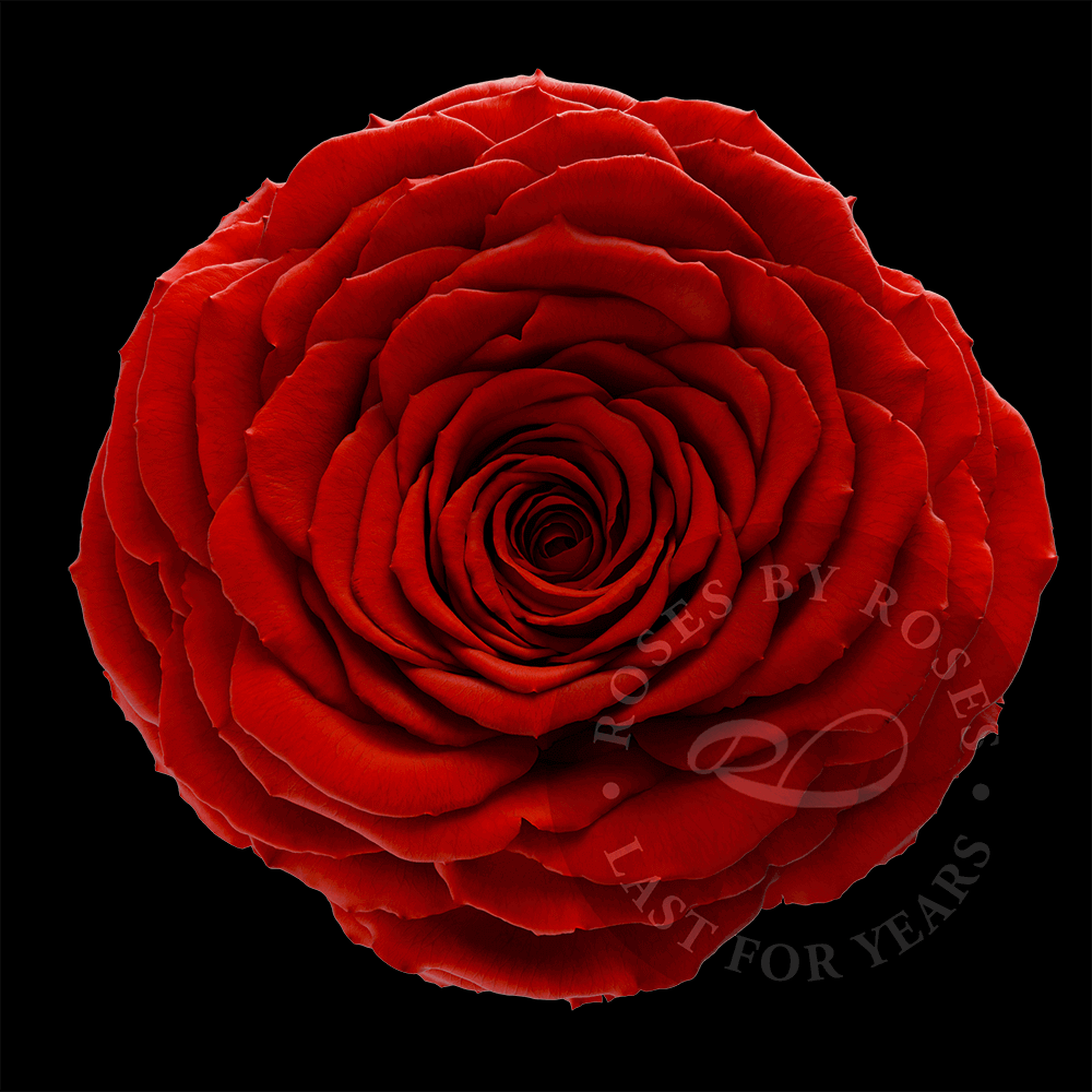 Red Rose last for years, luxurious long-lasting red roses
