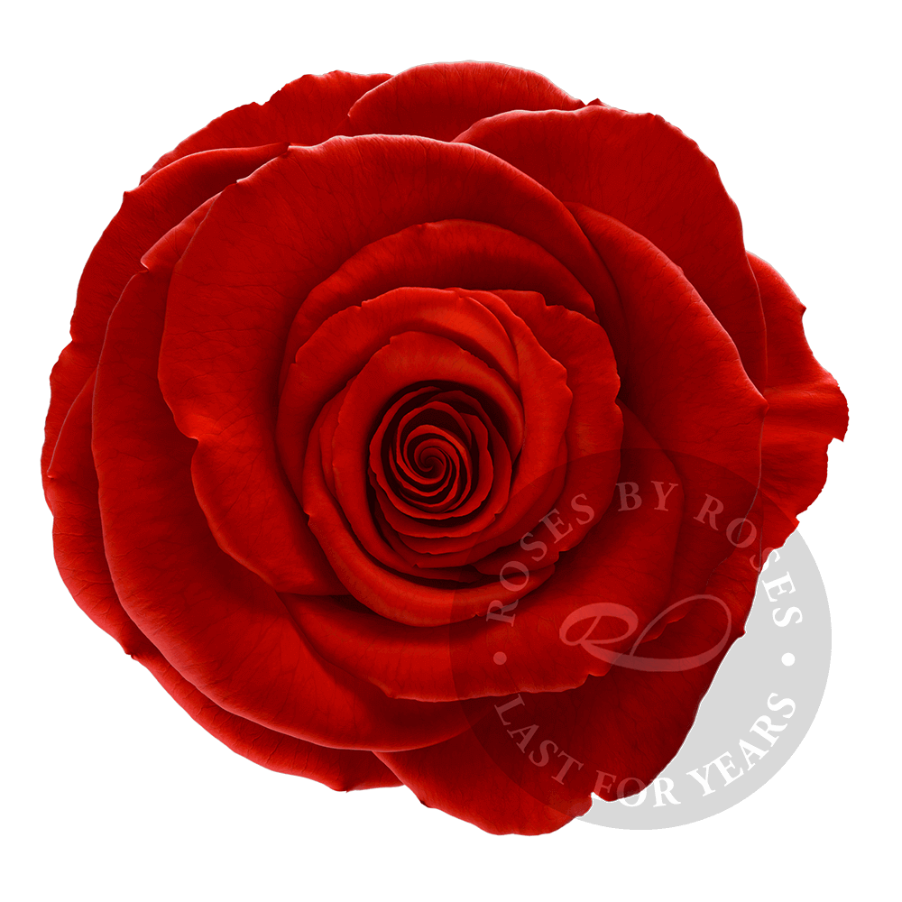 Red Rose preserved, exclusive long-lasting red roses