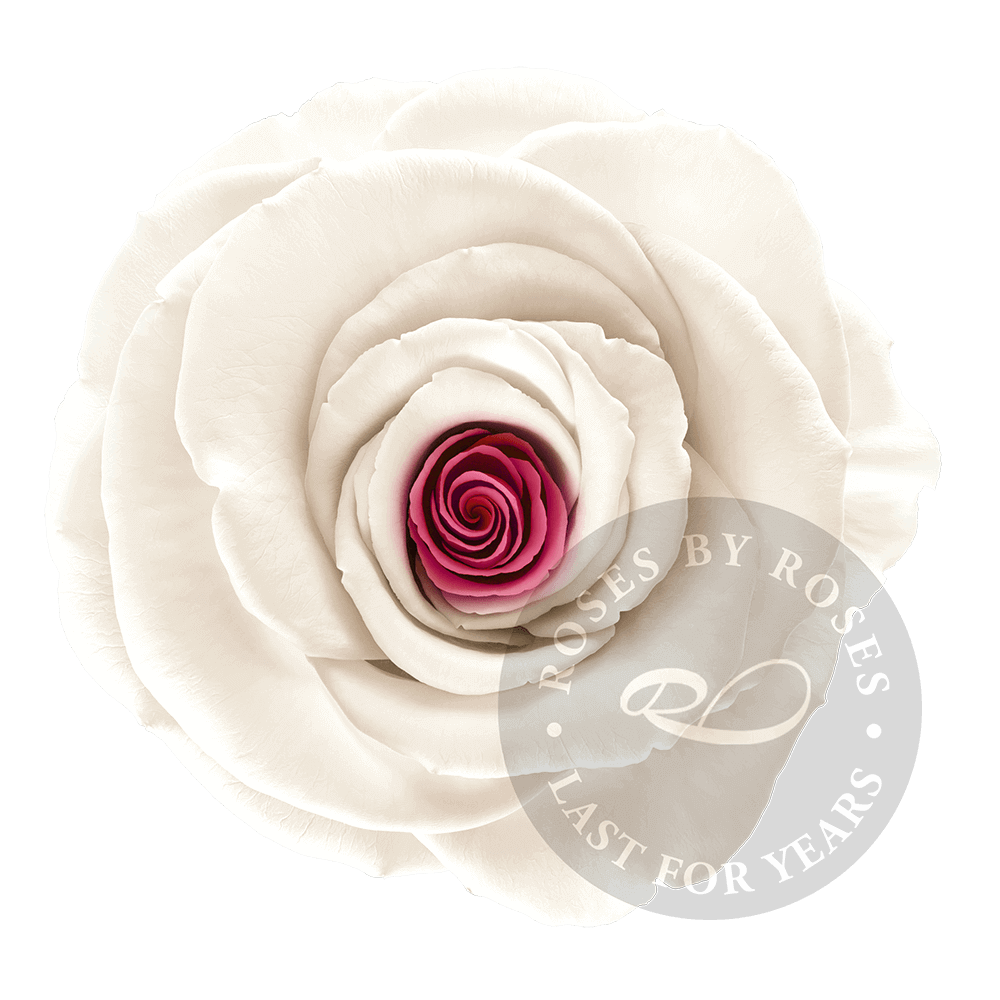 White Pink Rose preserved, exclusive long-lasting white pink roses