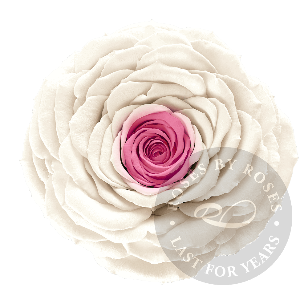 Preserved White Pink Rose, Premium long-lasting XL white pink roses