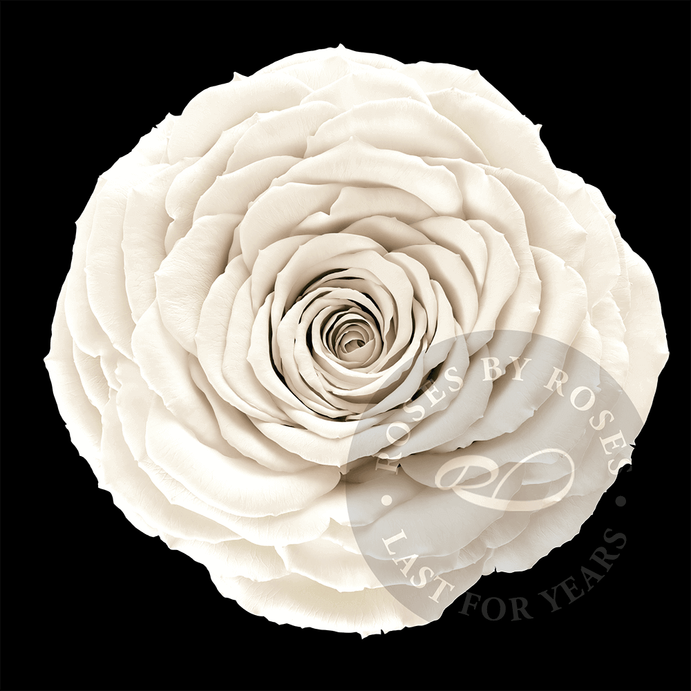 White-rose-preserved-big-rosesbyroses-bl