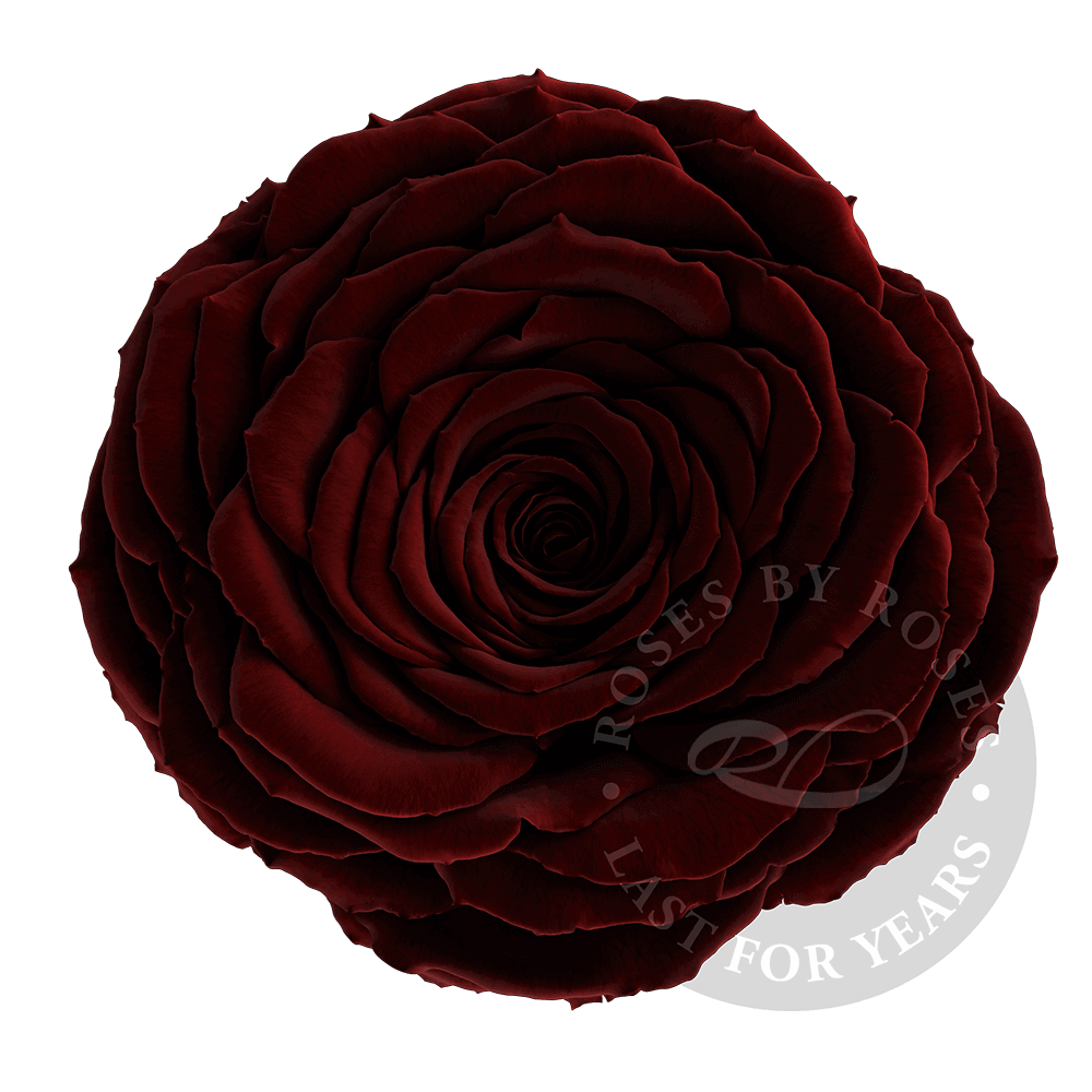 Preserved Wine Rose, Premium long-lasting XL bordeaux, red wine roses