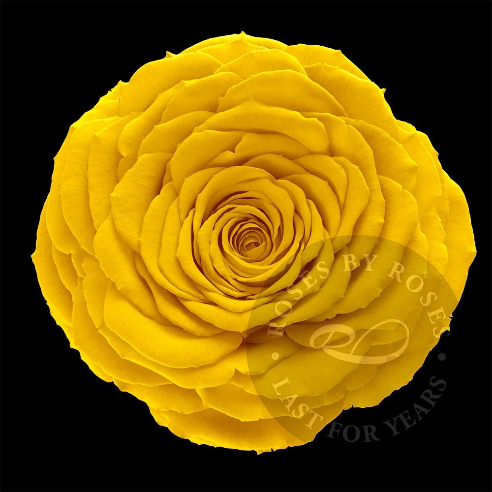 Yellow-rose-preserved-big-rosesbyroses-bl