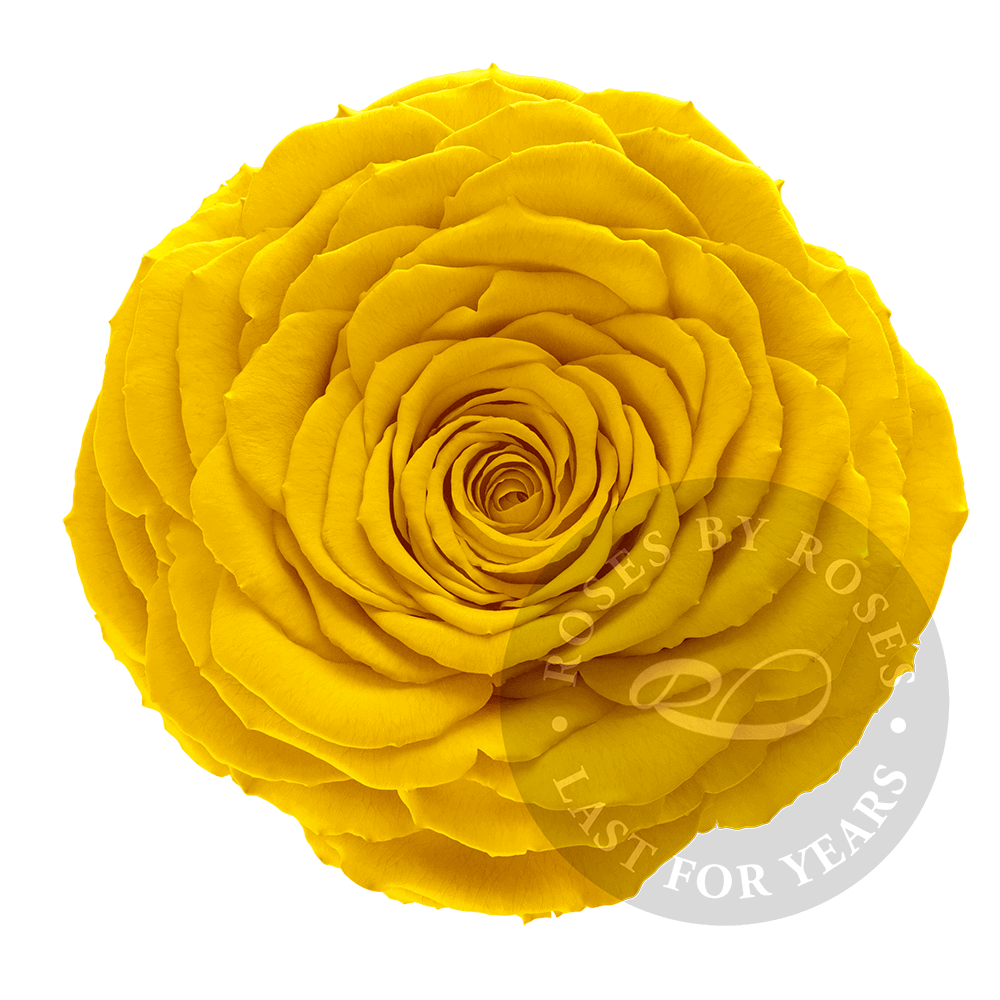 Preserved Yellow Rose, Premium long-lasting XL yellow roses