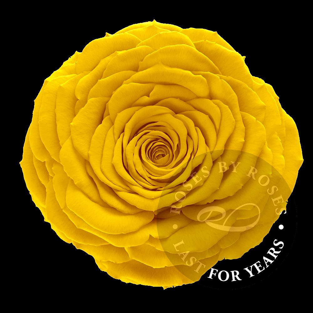Preserved Yellow Rose, Premium long-lasting XL yellow roses