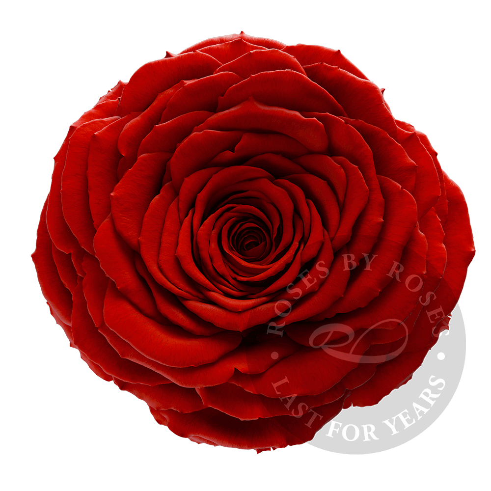 Red-rose-preserved-big-rosesbyroses